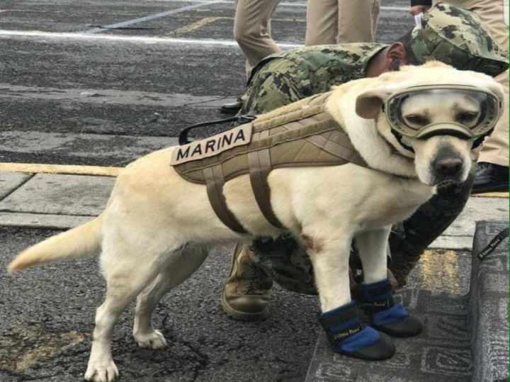 perros-rescatistas-heroes-cuatro-patas-en-cdmx-01